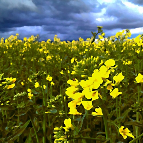 Just another testercles iMage from #Tweetings for #Smooth #iPhoneography #MobiTog Field of Yellow...